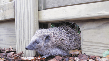 Hedgehog Pic